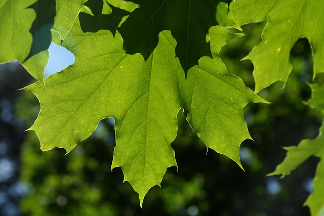 Leaves, Green, Back Light, Tree Acer Platanoides