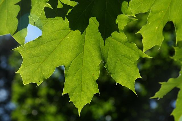 Leaves, Green, Back Light, Tree Acer Platanoides