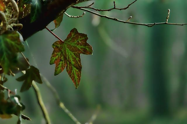 Leaf, Nature, Plant, Ivy, Back Light