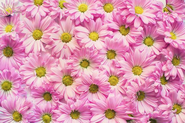 Pink Daisies, Flowers, Backdrop, Pink, Floral, Summer