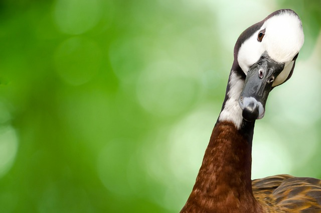 Goose, Bird, Animal, Avian, Background, Beak, Black