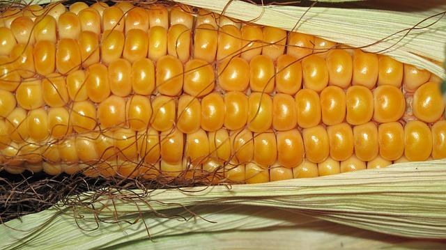 Corn, Grain, Corn On The Cob, Autumn, Background