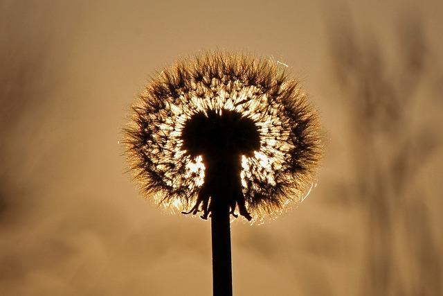 Dandelion, Sunset, Background, Nature, Blossom, Bloom