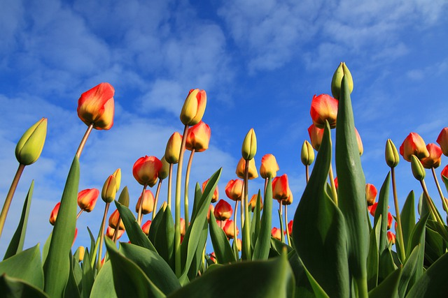 Tulips, Tulip, Field, Fields, Red, Background
