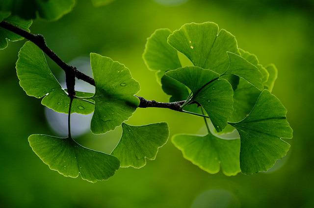 Gingko, Tree, Branch, Green, Leaves, Background