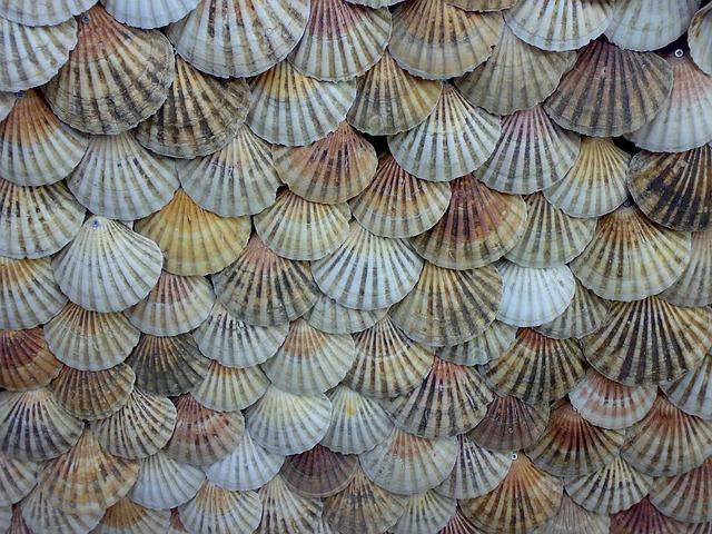 Shells, Scallops, Background, Shellfish, Seashell, Sea