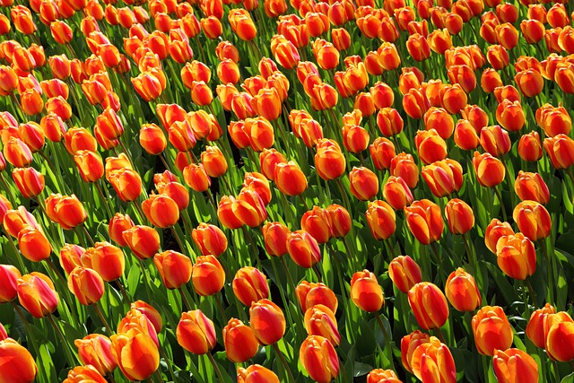 Tulips, Tulip, Orange, Red, Background, Wallpaper