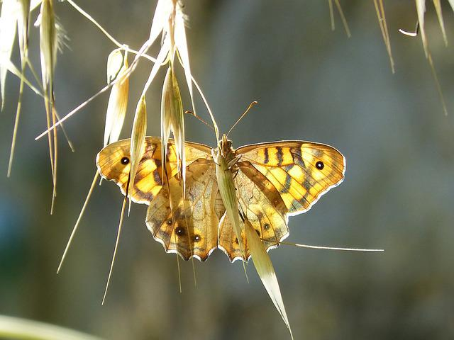 Butterfly, Lobito List, Backlight