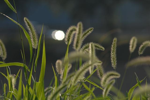 Foxtail, Backlight, Sunshine, Nature