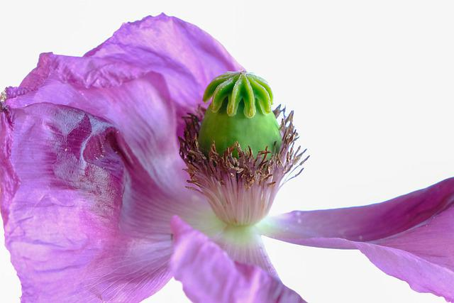 Poppy, Violet, Blossom, Bloom, Lighting, Backlighting