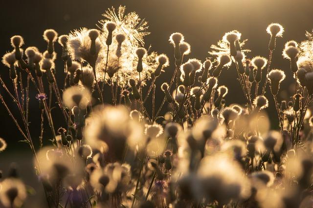 Diestel, Plant, Nature, Thistle Buds, Backlighting
