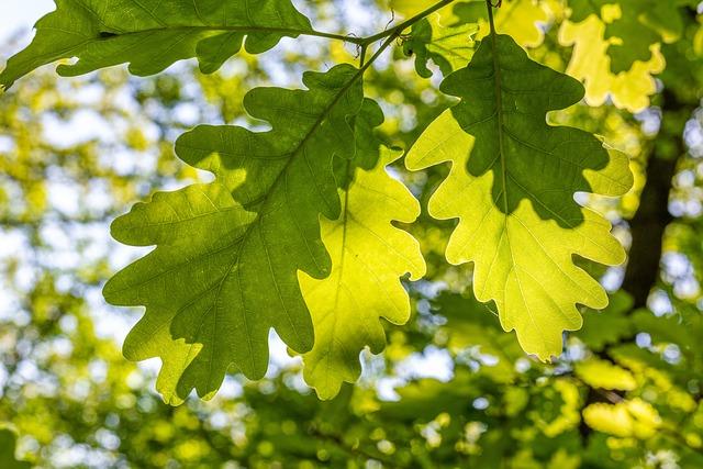 Leaves, Forest, Oak, Spring, Sunshine, Backlighting