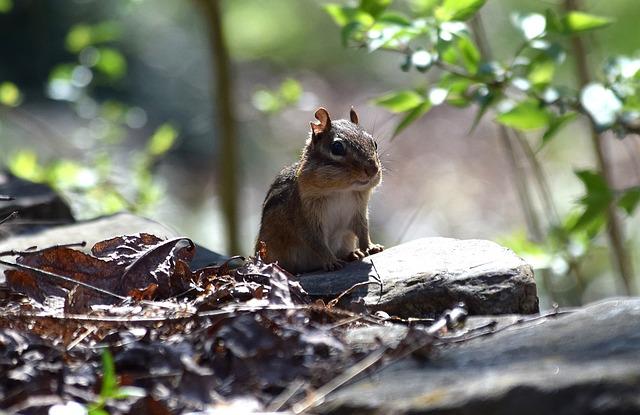 Backlit Chipmunk, Eastern Chipmunk, Chipmunk, Rodent