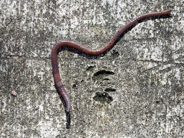 Earth Worm, Worm, Earthworm, Crawling, Soil, Bait