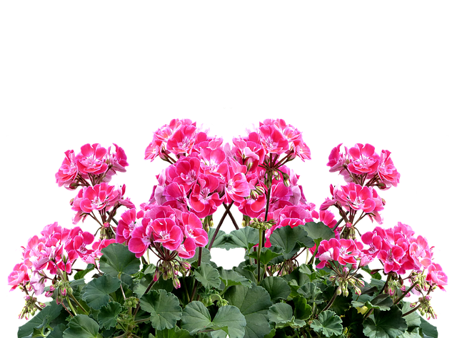Free Photo Balcony Plant Balkonblumen Summer Geranium
