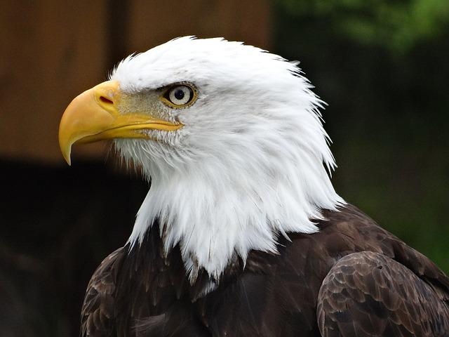Bird Of Prey, Adler, Prey, Bald Eagle, Animal World