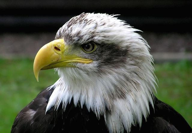 Bald Eagle, Adler, Raptor, Bird, Coat Of Arms Of Bird