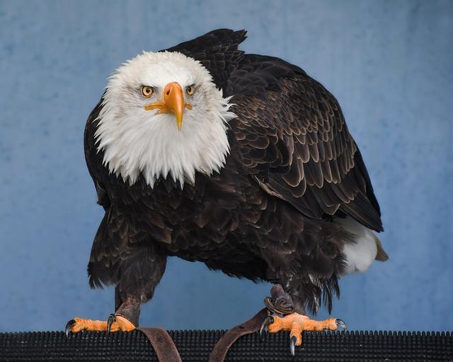 Bald Eagle, Raptor, Eagle, Bird