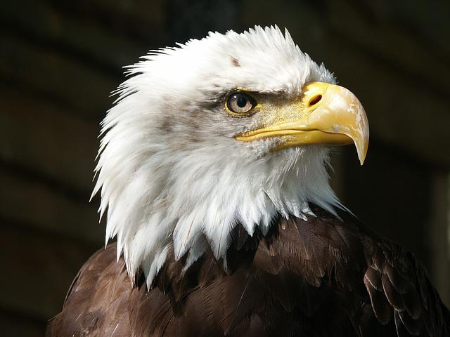 Bald Eagle, Eagle, Raptor, Beak, Feathers, Animal