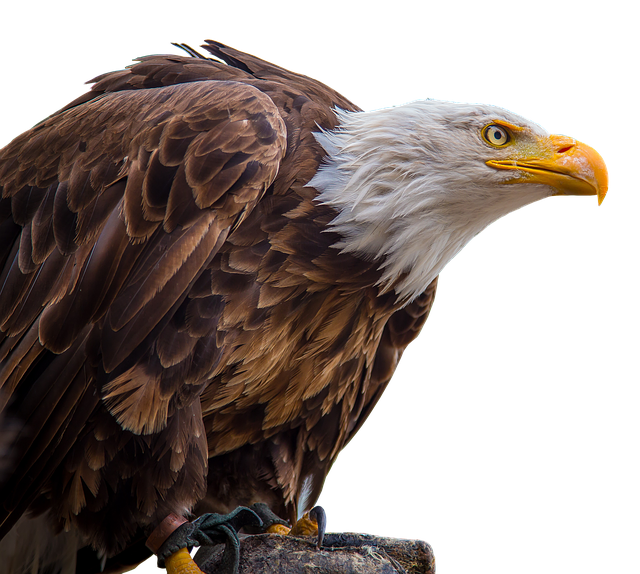 Adler, White Tailed Eagle, Bald-eagle, Bald Eagle, Bill