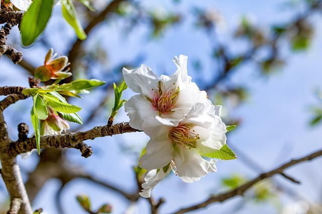 Mallorca, Blossom, Bloom, Spring, Balearic Islands