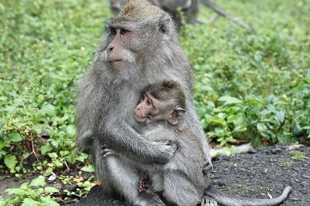 Indonesia, Bali, Monkey, Motherhood, Love, Young