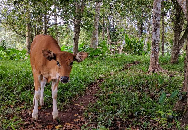 Cow, Animal, Balinese, Bali
