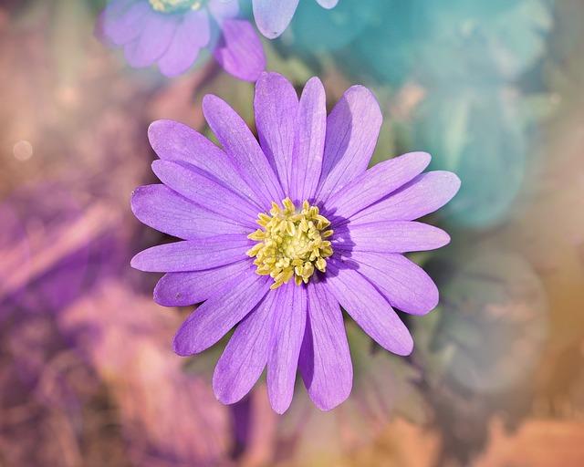 Balkan Anemone, Anemone, Flower, Blossom, Bloom, Pink