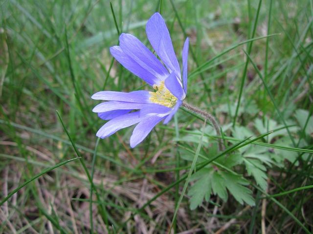 Anemone Blanda, Balkan Anemone, Grecian Windflower