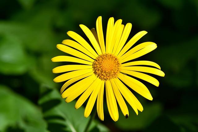 Flower, Balkan-gemswurz, Doronicum Orientale
