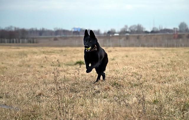 Black German Shepherd, Dog, Ball, Game, Beauty