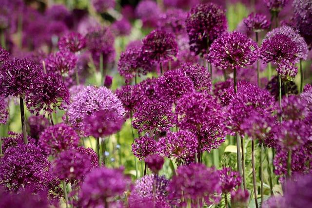 Ball Leek, Flowers, Ornamental Onion, Zwiebelpflanze