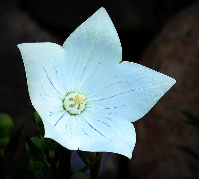 Balloon Flower, Chinese Bellflower, Bellflower