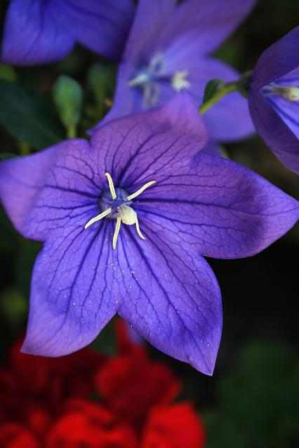 Balloon Flower, Platycodon, Blossom, Bloom, Purple