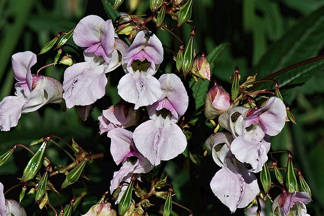Flower, Himalayan Balsam, Nature, Balsam, Pink, Blossom