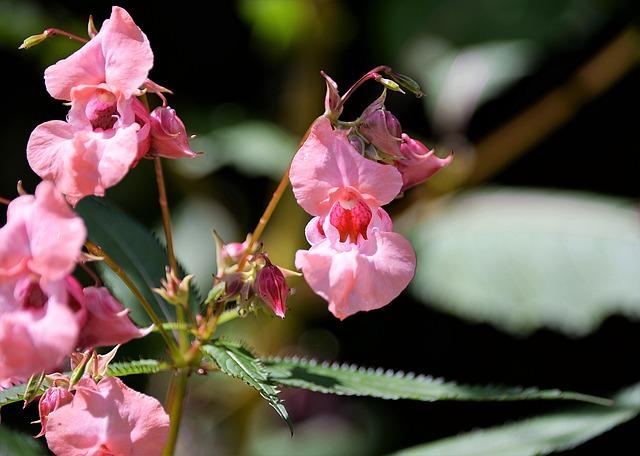 Balsam, Ornamental Plant, Balsaminengewaechs