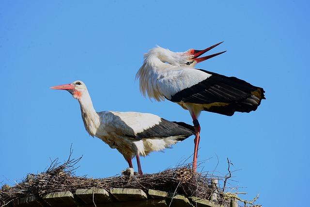 Storks, White Stork, Balz, Stork Klappernder