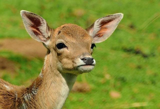 Roe Deer, Fawn, Kitz, Young Deer, Wild, Bambi