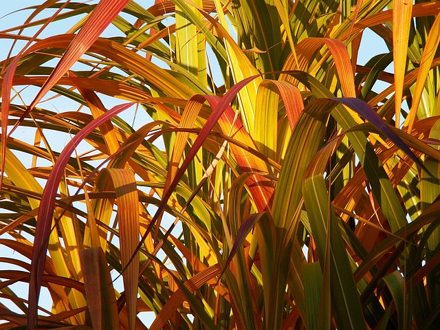 Bamboo, Yellow Bamboo, Foliage, Colors, Autumn