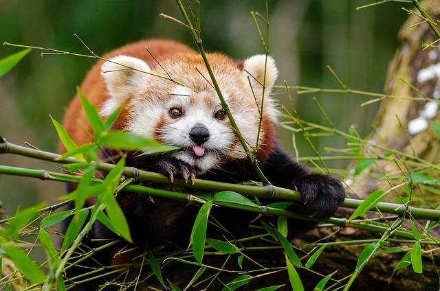 Red Panda, Bamboo, Tongue Out, Mammal, Animal, Wild