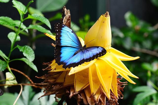 Blue Morpho, Banana Flower, Blue, Garden, Insect