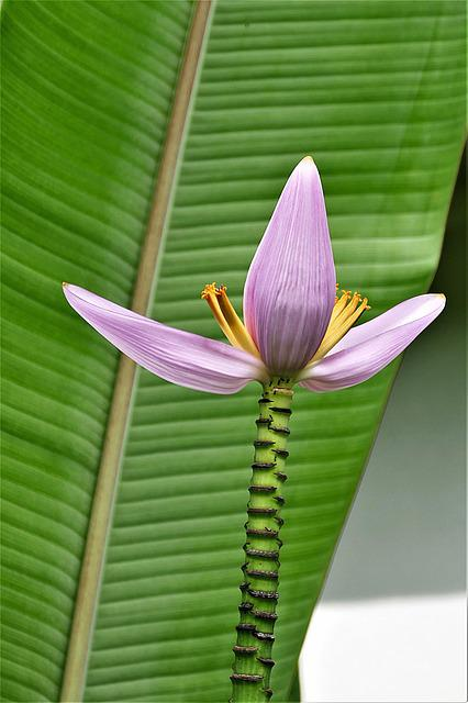 Banana Flower, Exotic, Banana Plant, Tropical