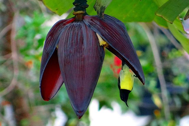 Banana Flower, Sunbird, Purple-rumped Sunbird, Male