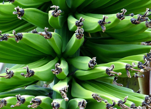 Banana Shrub, Banana, Food, Fruit, Green, Healthy
