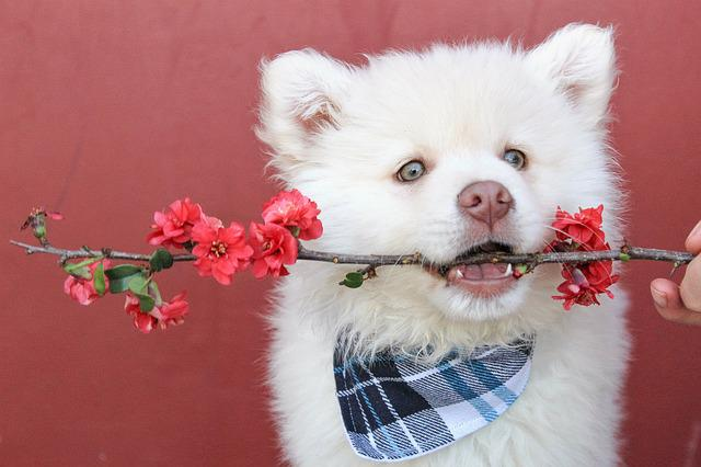 Bandana, Flower, Red, Puppy, Fluffy, Accessory, Fashion