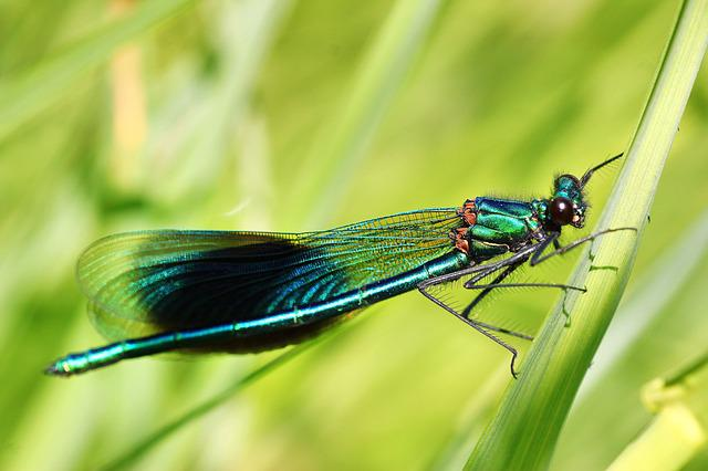 Banded Demoiselle, Demoiselle, Males, Insect, Dragonfly