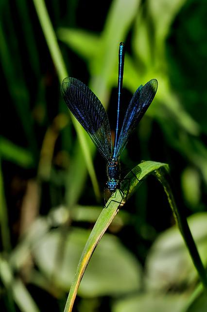 Nature, Animal, Insect, Dragonfly, Banded Demoiselle