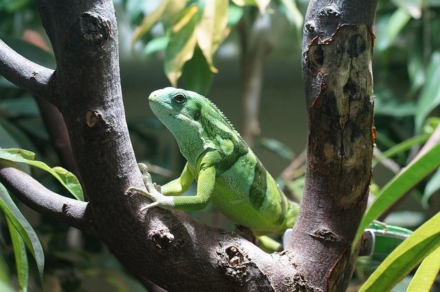Banded Fiji Iguana, Reptile, Striped