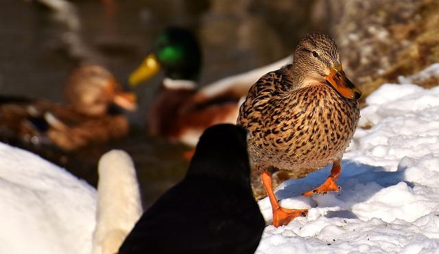 Waterfowl, Ducks, Raven, Swan, Mallards, Bank