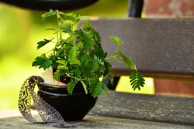 Mimosa, Plant, Mimosa Pudica, Young Plants, Bank